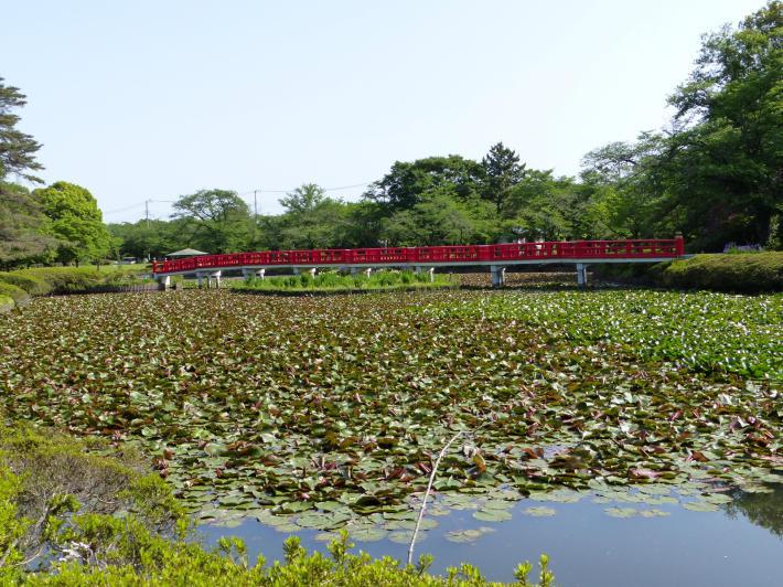 岩槻城址公園 2021年5月の睡蓮の様子_f0296312_16150416.jpg