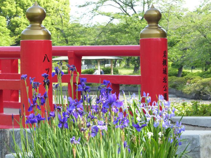 岩槻城址公園 2021年5月の睡蓮の様子_f0296312_16150667.jpg