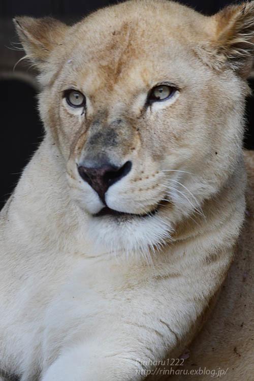 2021.5.9 東北サファリパーク☆ホワイトライオンのルーチェ嬢【White lion】<その1>_f0250322_20281828.jpg