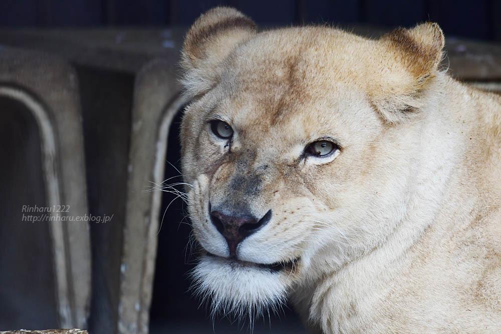 2021.5.9 東北サファリパーク☆ホワイトライオンのルーチェ嬢【White lion】<その1>_f0250322_20285348.jpg