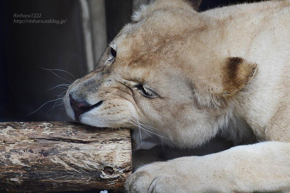 2021.5.9 東北サファリパーク☆ホワイトライオンのルーチェ嬢【White lion】<その1>_f0250322_20290123.jpg