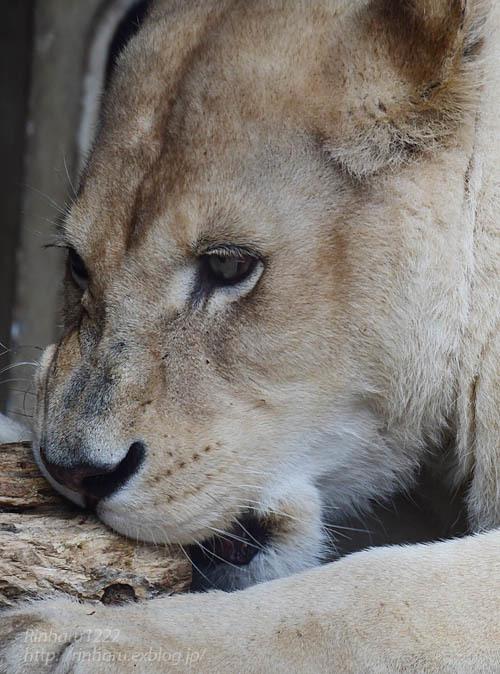 2021.5.9 東北サファリパーク☆ホワイトライオンのルーチェ嬢【White lion】<その1>_f0250322_20291175.jpg