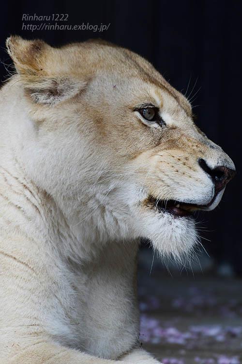2021.5.9 東北サファリパーク☆ホワイトライオンのルーチェ嬢【White lion】<その1>_f0250322_20294322.jpg