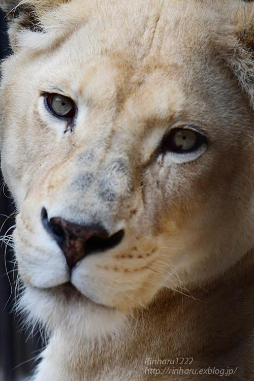 2021.5.9 東北サファリパーク☆ホワイトライオンのルーチェ嬢【White lion】<その1>_f0250322_20300799.jpg