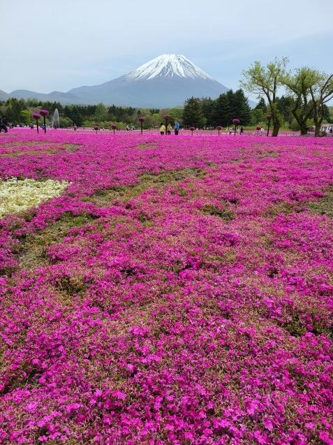 富士芝桜まつり_c0124528_06371292.jpg