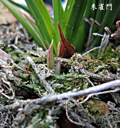 西神梅(中国春蘭)          No.2096_d0103457_17440221.jpg