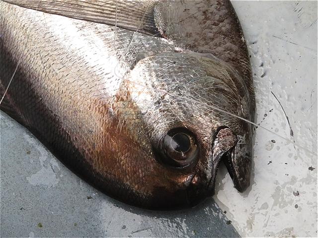 やっぱり・・竿折り魚・オッペタンコ(シマガツオ)だな(*\'▽\')_c0196414_18155613.jpg