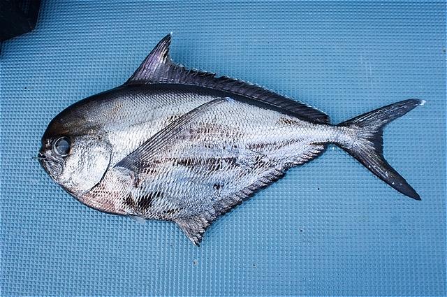 やっぱり・・竿折り魚・オッペタンコ(シマガツオ)だな(*\'▽\')_c0196414_18155645.jpg