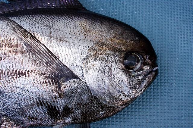 やっぱり・・竿折り魚・オッペタンコ(シマガツオ)だな(*\'▽\')_c0196414_18155652.jpg