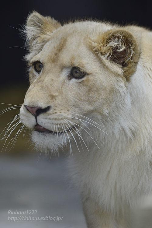 2020.3.15 東北サファリパーク☆ホワイトライオンのイチゴちゃん【White lion】_f0250322_19400167.jpg