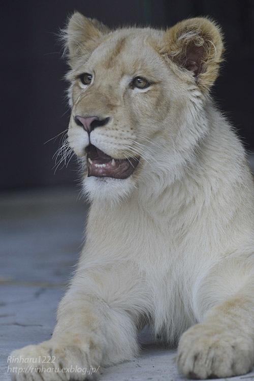 2020.3.15 東北サファリパーク☆ホワイトライオンのイチゴちゃん【White lion】_f0250322_19401827.jpg