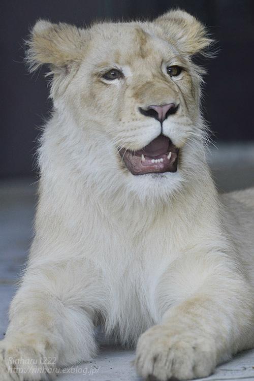 2020.3.15 東北サファリパーク☆ホワイトライオンのイチゴちゃん【White lion】_f0250322_19403352.jpg