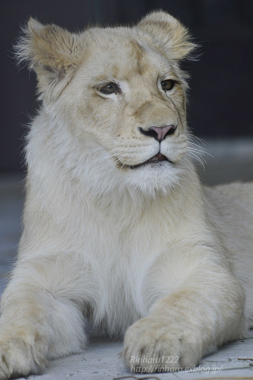 2020.3.15 東北サファリパーク☆ホワイトライオンのイチゴちゃん【White lion】_f0250322_19404206.jpg