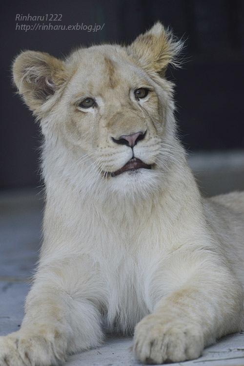 2020.3.15 東北サファリパーク☆ホワイトライオンのイチゴちゃん【White lion】_f0250322_19405092.jpg