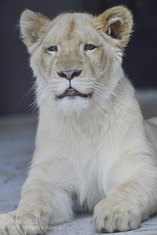 2020.3.15 東北サファリパーク☆ホワイトライオンのイチゴちゃん【White lion】_f0250322_19405802.jpg