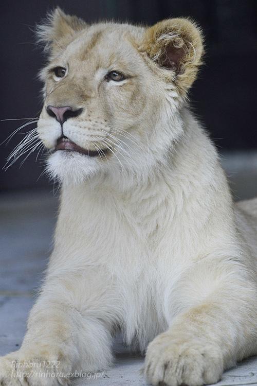 2020.3.15 東北サファリパーク☆ホワイトライオンのイチゴちゃん【White lion】_f0250322_19410635.jpg