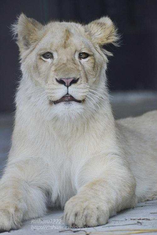 2020.3.15 東北サファリパーク☆ホワイトライオンのイチゴちゃん【White lion】_f0250322_19411405.jpg