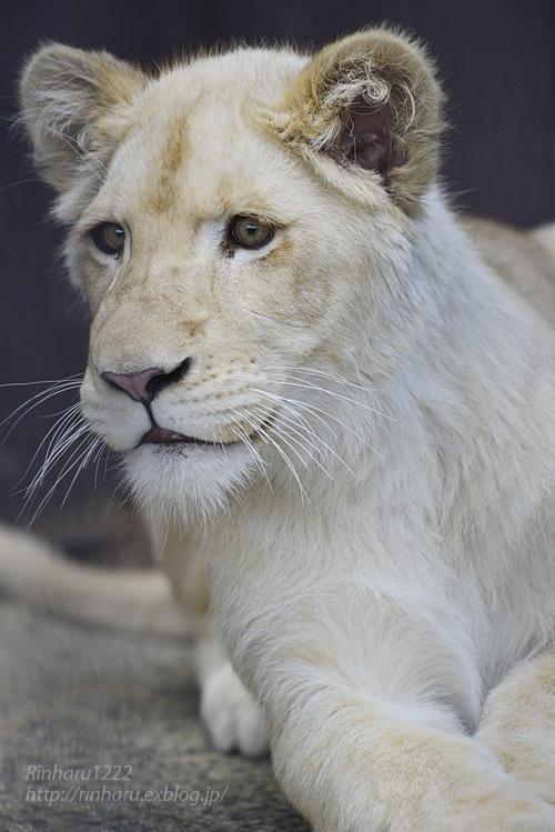 2020.3.15 東北サファリパーク☆ホワイトライオンのイチゴちゃん【White lion】_f0250322_19413187.jpg