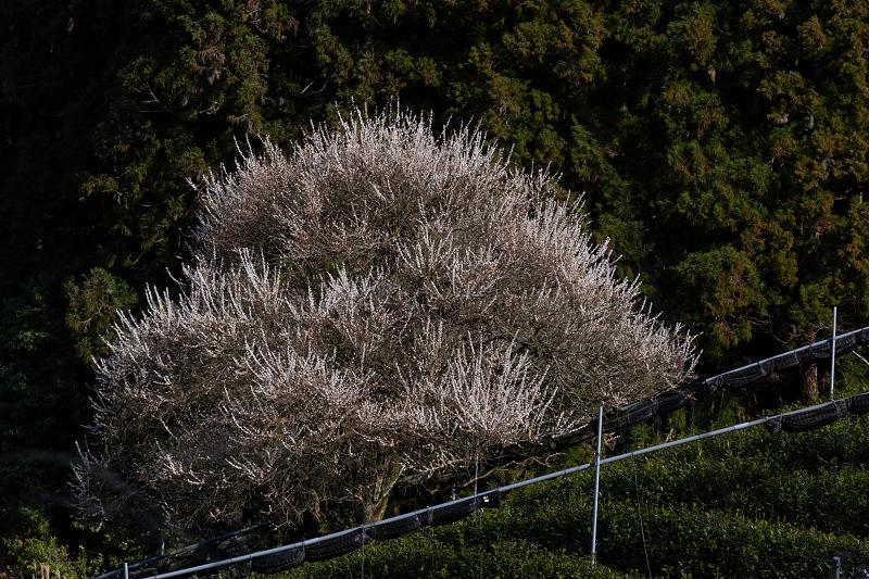 孤高の白梅と遍照院の春(宇治田原町)_f0155048_21281523.jpg