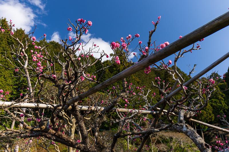 孤高の白梅と遍照院の春(宇治田原町)_f0155048_21285014.jpg