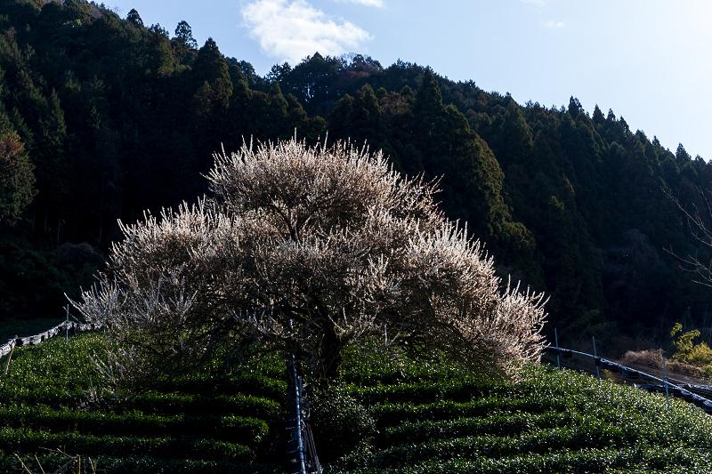 孤高の白梅と遍照院の春(宇治田原町)_f0155048_21310187.jpg