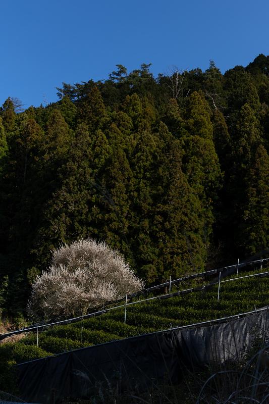 孤高の白梅と遍照院の春(宇治田原町)_f0155048_21313360.jpg
