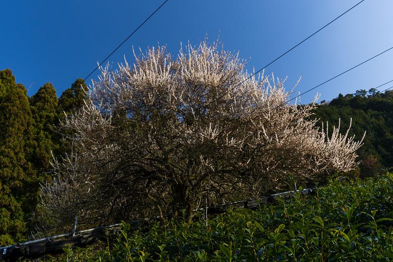 孤高の白梅と遍照院の春(宇治田原町)_f0155048_21320641.jpg