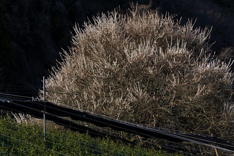 孤高の白梅と遍照院の春(宇治田原町)_f0155048_21324438.jpg