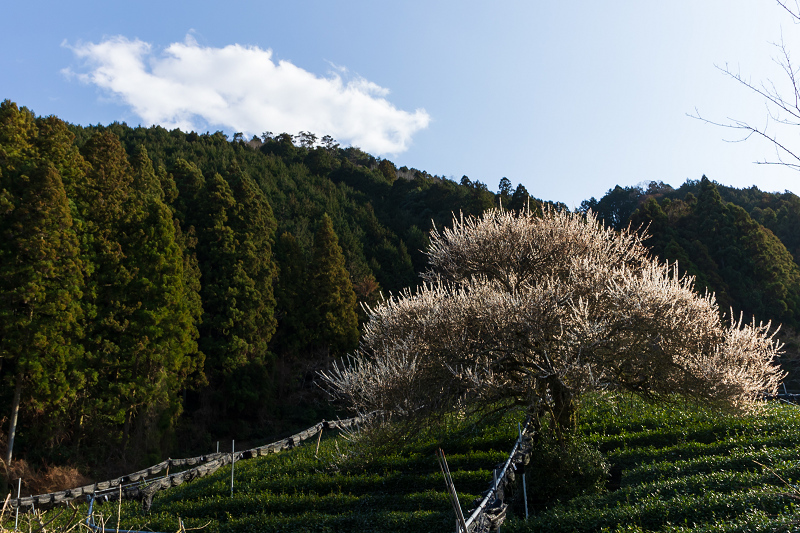 孤高の白梅と遍照院の春(宇治田原町)_f0155048_21345673.jpg