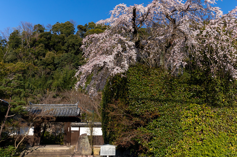 2021桜咲く京都 善法律寺のしだれ桜_f0155048_23103466.jpg
