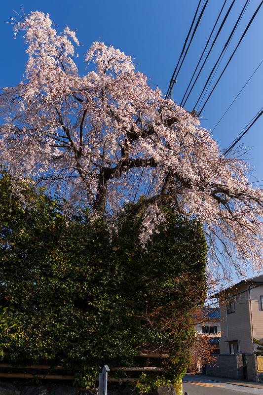 2021桜咲く京都 善法律寺のしだれ桜_f0155048_23105190.jpg