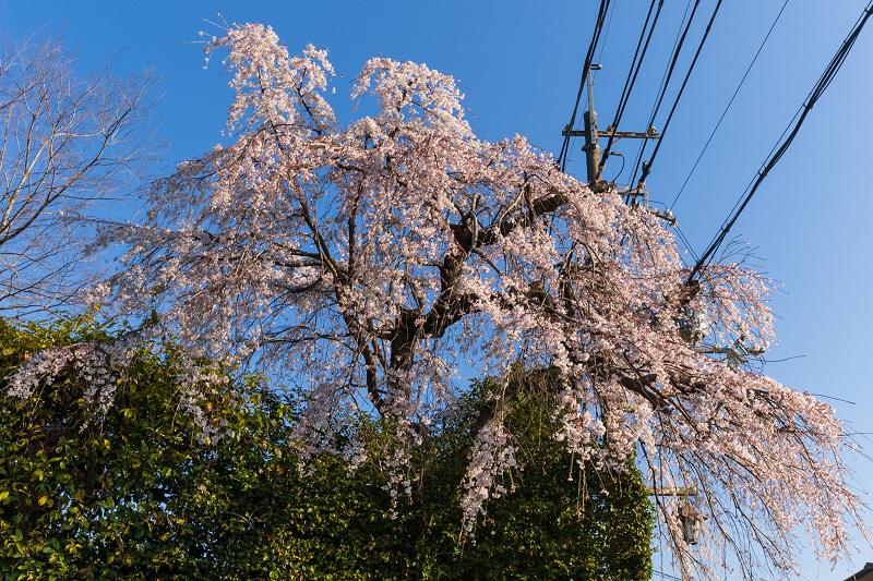 2021桜咲く京都 善法律寺のしだれ桜_f0155048_23110620.jpg
