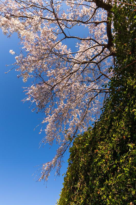 2021桜咲く京都 善法律寺のしだれ桜_f0155048_23110957.jpg