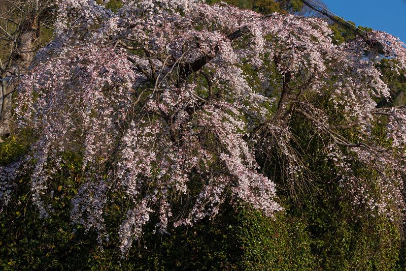 2021桜咲く京都 善法律寺のしだれ桜_f0155048_23112159.jpg