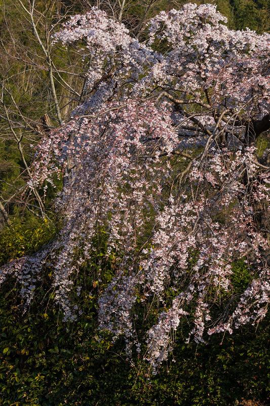 2021桜咲く京都 善法律寺のしだれ桜_f0155048_23112825.jpg