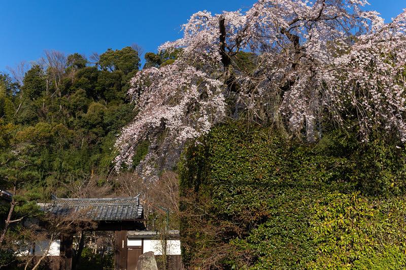 2021桜咲く京都 善法律寺のしだれ桜_f0155048_23114806.jpg
