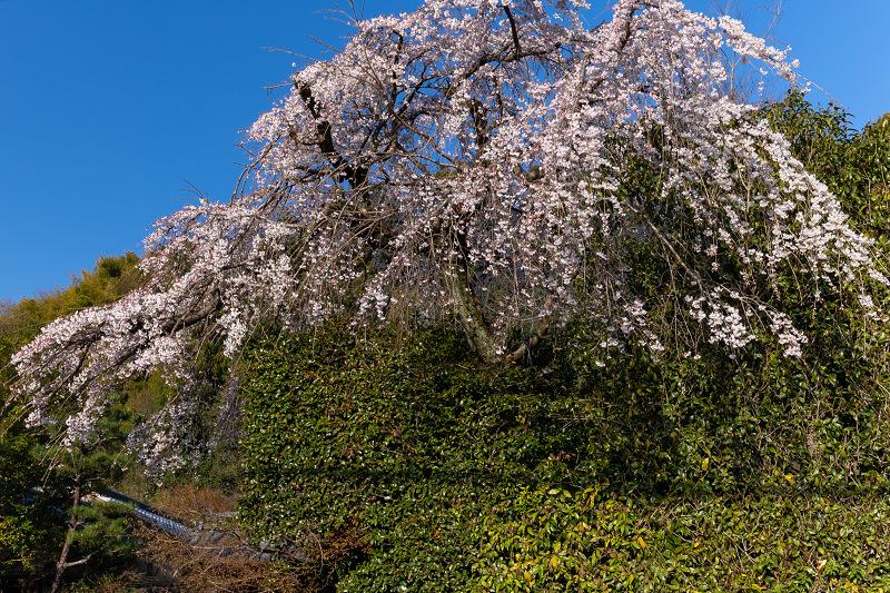 2021桜咲く京都 善法律寺のしだれ桜_f0155048_23115206.jpg