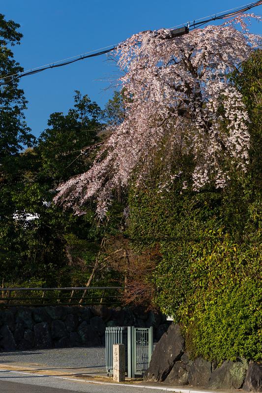 2021桜咲く京都 善法律寺のしだれ桜_f0155048_23120306.jpg