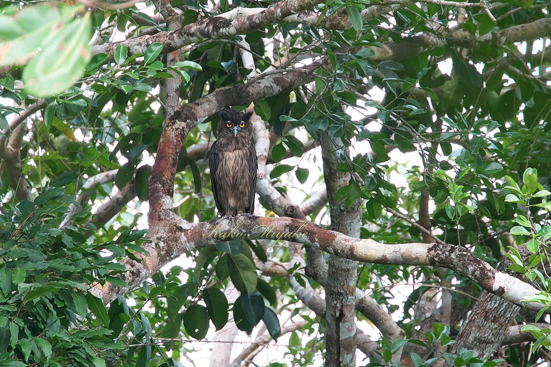 *ウスグロワシミミズク(Dusky Eagle Owl)_d0013455_21132735.jpg