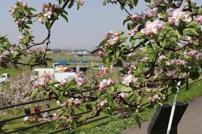 りんご花まつり_2021.05.08~09撮影_d0131668_18185704.jpg