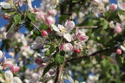 りんご花まつり_2021.05.08~09撮影_d0131668_18191441.jpg