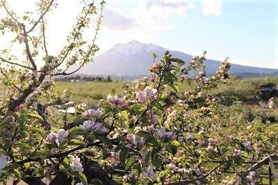 りんご花まつり_2021.05.08~09撮影_d0131668_18274913.jpg