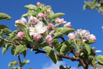 りんご花まつり_2021.05.08~09撮影_d0131668_18284829.jpg