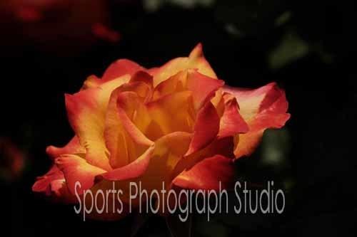 素敵なバラ チャールストン_d0256494_06111091.jpg