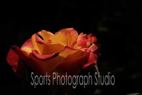 素敵なバラ チャールストン_d0256494_06111604.jpg