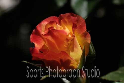 素敵なバラ チャールストン_d0256494_06112278.jpg