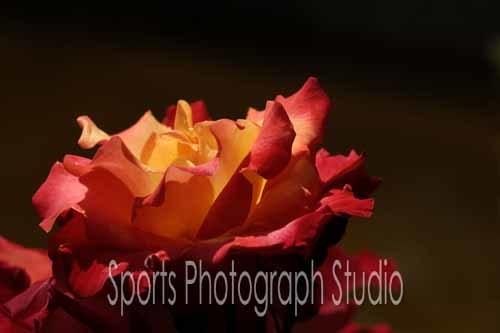 素敵なバラ チャールストン_d0256494_06112722.jpg