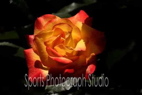 素敵なバラ チャールストン_d0256494_06113357.jpg