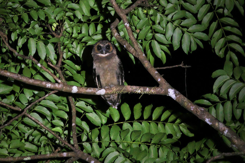 *オオフクロウ(Brown Wood-Owl)_d0013455_21414156.jpg