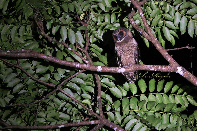 *オオフクロウ(Brown Wood-Owl)_d0013455_21414766.jpg